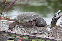 Common Snapping Turtle; Chelydra serpentina; basking on log; NY, Adirondack Park, Little Tupper Lake