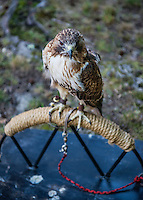 Rescued captive Red-tailed Hawk.