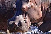 Close up of a Hippo as she casually makes its way into the water. They enjoy sun bathing and will spend time hauled up on land during the day seeking the relief of the water when the African sun is at its hottest.