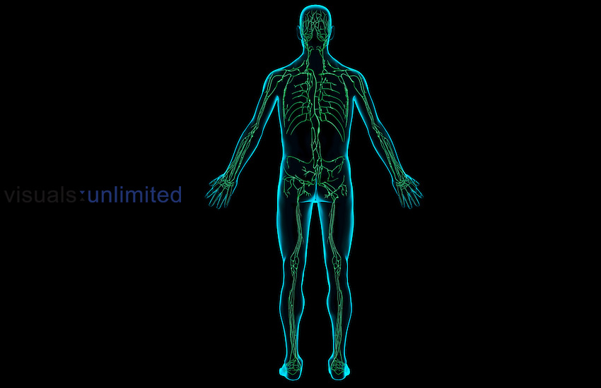 A posterior view of the lymphatic system. The surface anatomy of the body is semi-transparent and tinted blue. Royalty Free