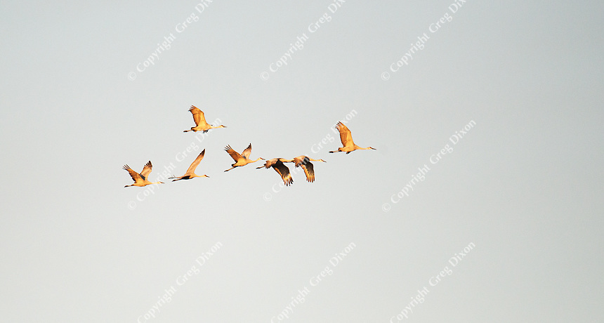 Sandhill cranes look for a location to roost near the Aldo Leopold Foundation on Sunday, November 26, 2016, near Baraboo, Wisconsin