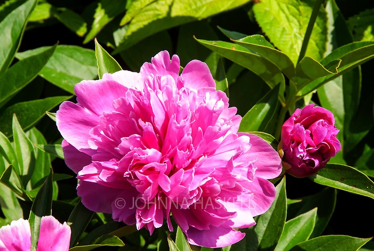 Double Pink Peonies are a beautiful bouquet for cut flowers.