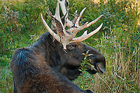 Moose bull (Alces alces americana) with dried velvet still hanging from antlers, autumn, Nova Scotia, Canada.