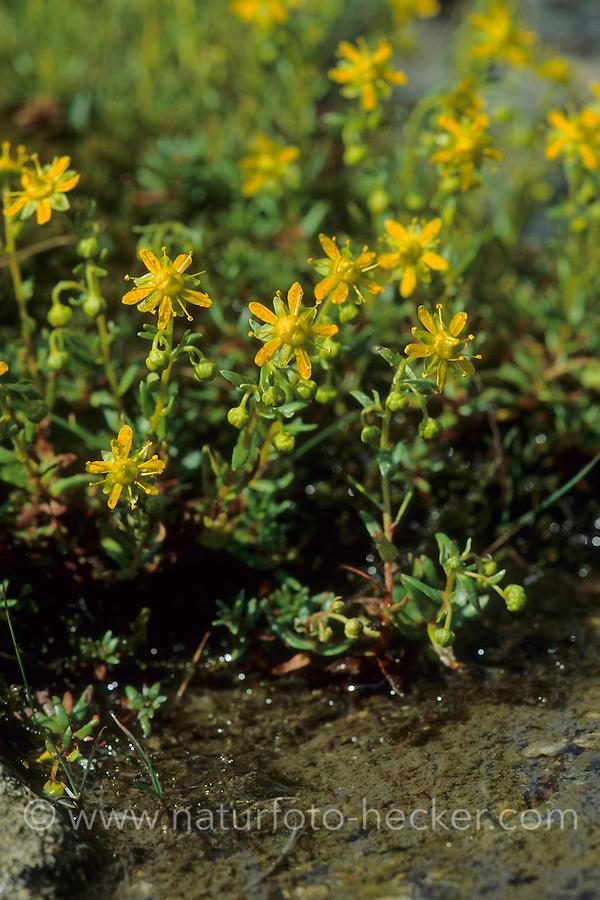 Fetthennen-Steinbrech, Bach-Steinbrech, Bewimperter Steinbrech, Saxifraga aizoides, Evergreen Saxifrage, Yellow Mountain Saxifrage