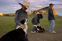 Border collies get lots of love on the Fritz Ranch in North Dakota. They earn their keep on the cattle ranch by helping manage 240 sheep the Fritzes run on their North Dakota ranch to control an invasive flowering plant called leafy spurge. The Eurasian weed contains latex, which burns cows' mouths; enough spurge on pastureland will drive cattle away entirely. <br /> Luckily sheep enjoy eating spurge--in fact, they prefer it to grass, says Shannon Fritz.