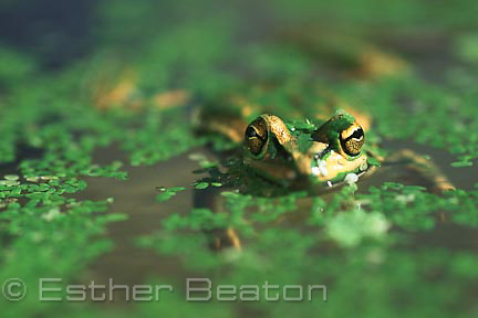 Green and Golden Bell Frog (Litoria aurea) almost submerged, with pondweed. Threatened species