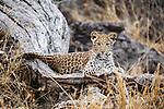 Leopard first year cub, Okavango Delta, Botswana