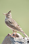 Crested Lark, Galerida cristata, Lesvos,  Greece, perched on top of rock , lesbos