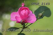 Gisela, FLOWERS, BLUMEN, FLORES, photos+++++,DTGK2140,#f# ,roses