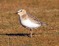 Mountain plover in winter plumage
