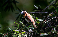 Chestnut-breasted mannikin (Lonchura castaneothorax), also known as the chestnut-breasted munia or bully bird (in Australia), is a small brown-backed munia with a black face and greyish crown and nape. It has a broad ferruginous breast bar above a white belly. The species is found in Australia, New Caledonia, Indonesia, and Papua New Guinea. This species has also been introduced to French Polynesia and France.Cairns, Far - North Queensland. Australia.