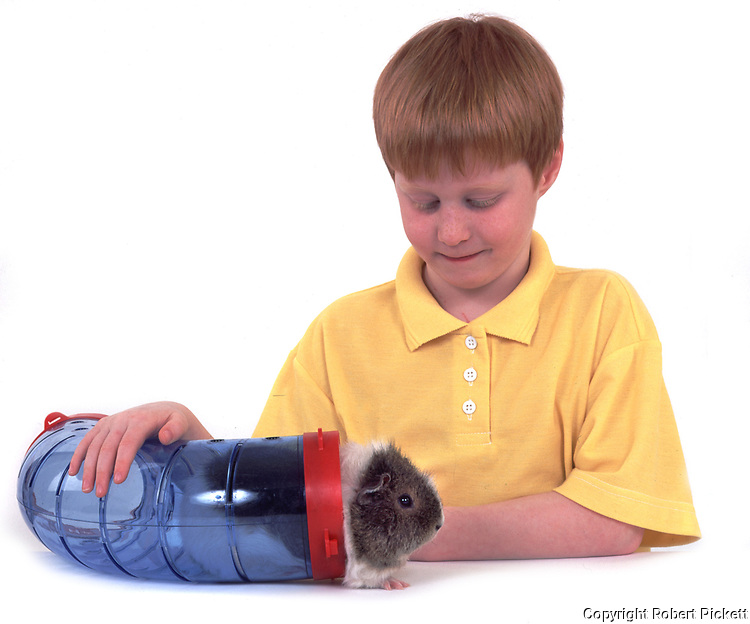 Young Boy playing with Pet Guinea Pig in tube, aged 7 years old, domestic, white background, cut out, studio, grey and white part colour
