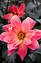 Dahlia 'Twyning's Revel', early September.