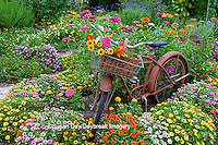 63821-22118 Old bicycle with flower basket in garden with zinnias,  Marion Co., IL