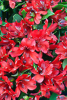 Alstroemeria Chicago red flowers