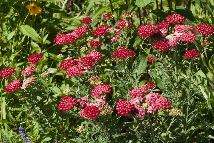 Achillea millefolium, red, common yarrow, medicinal plant