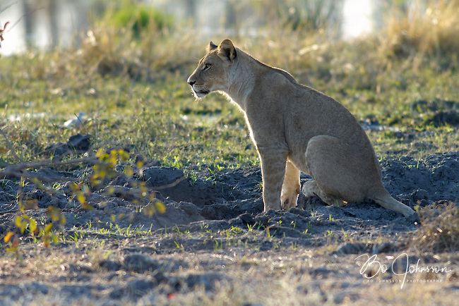 A young lion (panthera leo) relaxing in the soft morning light.<br /> The Khwai side of Moremi in the Okavango Delta, Botswana.<br /> September 2007.