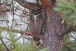 A Great Horned Owl is spending the day in a ponderosa pine tree