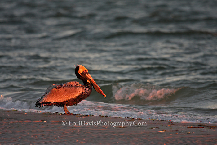 Sunrise Brown Pelican  #J15