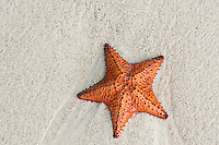 Cushion sea star on beach, Negril, Jamaica