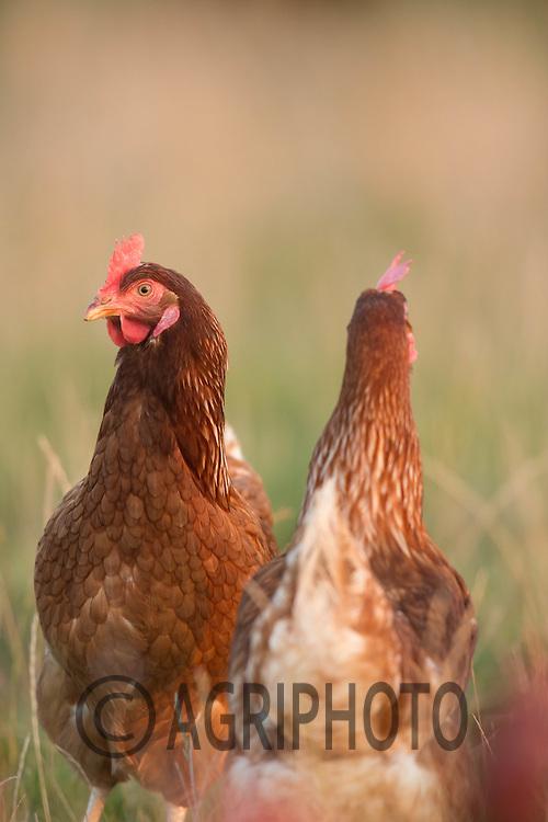 Free range hens<br /> Picture Tim Scrivener 07850 303986