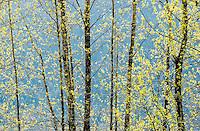 Red AlderTrees, Washington