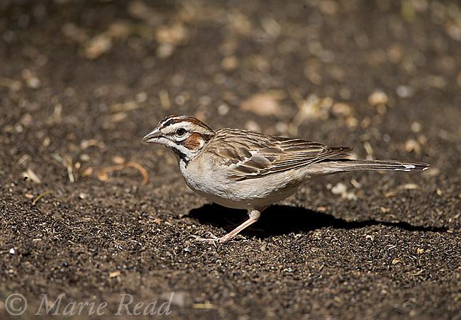 Lark Sparrow (Chondestes grammacus), Kern County, California, USA