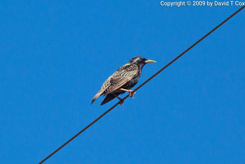 European Starling, Dubbo Crv Pk, NSW, Australia