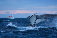 Whale watching ecotourists and Humpback whale, Megaptera novaeangliae, Hamn i Senja, Troms county, Norway, Scandinavia