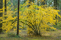 Vine Maple in autumn, Oregon