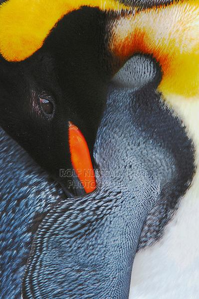 King Penguin (Aptenodytes patagonicus), adult preening, captive, Switzerland