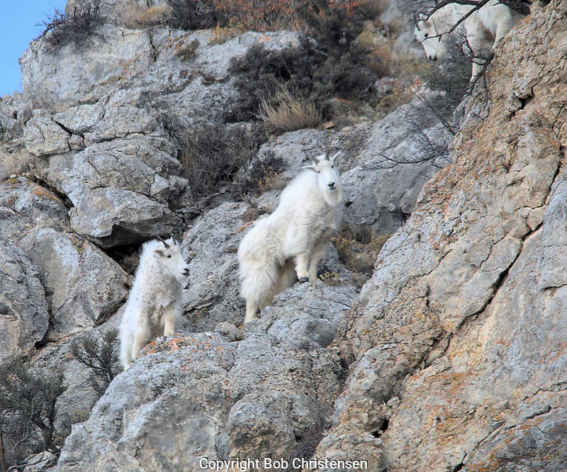 Mountain Goats at Avalanche Gulch