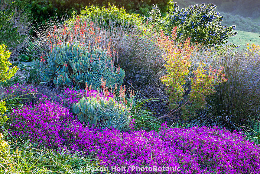 Flowering succulent border in South African section of Leaning Pine Arboretum, San Luis Obispo, California