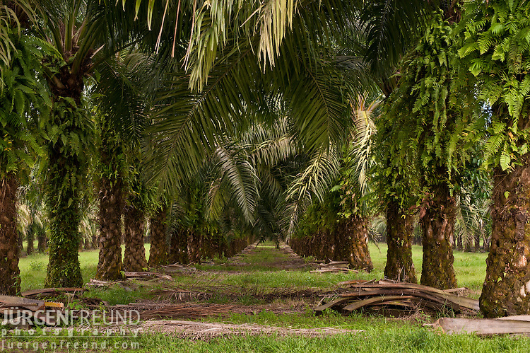 New Britain palm (Elaeis quineesis Jacq)  oil plantation by the coast.