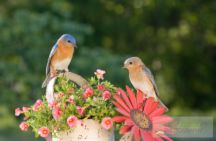Eastern Bluebirds, Lumberton, New Jersey