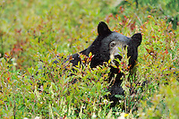 Black bear (Ursus americanus) eating huckleberries, Pacific NW, Fall.