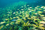 Gardens of the Queen, Cuba; a large school of French Grunt fish swimming over the coral reef at the entrance to Octopus Cave