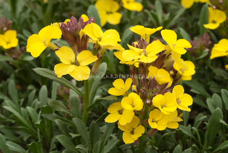 Erysimum 'Canaries Yellow' annual wallflower, cool-season flowers