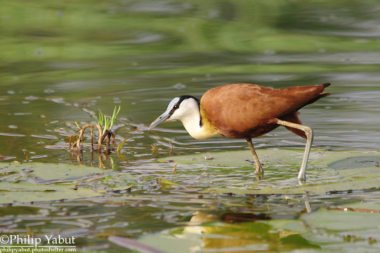 The African jacana (Actophilornis africanus) can look like it's walking on water when standing on lily pads and other plant matter, earning the nickname &quot;Jesus bird.&quot;<br />