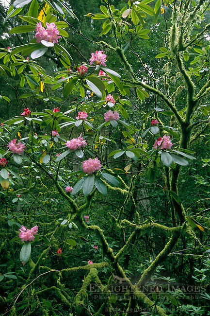Pink Rhododendron flower blossoms in coastal redwood forest, Redwood National Park, Del Norte, California