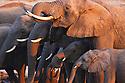 Zimbabwe, Hwange National Park, African elephant (Loxodonta africana) herd drinking