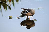 Blue winged teal ducks