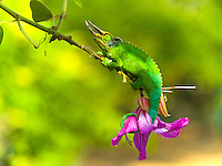 A male Jackson's chameleon clings to the branch of an orchid tree, Big Island.