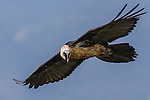Lammergeier or bearded vulture, Semien Mountains National Park, Ethiopia