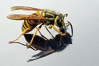 Yellow Jacket Wasp drinking from a drop of water on my trucks hood. UTNE Magazine.