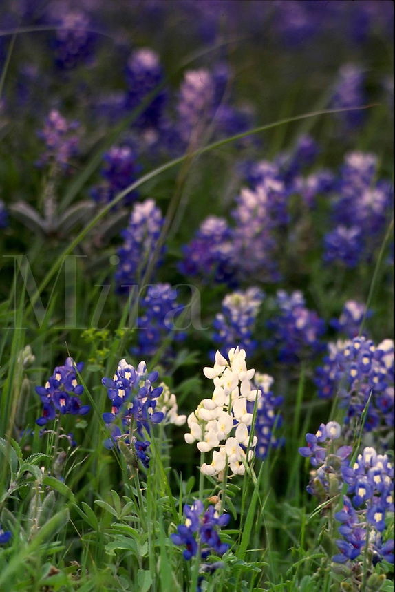 A field of bluebonnets has a rare white one in the mix. The bluebonnet is the official state flower of Texas. Texas.