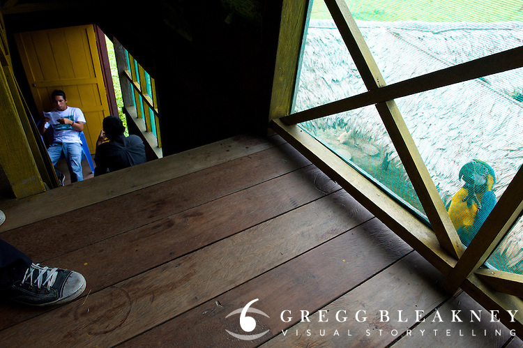 A wild Parrot checking out the Indigenous community house - Puerto Narino - Amazonas - Colombia