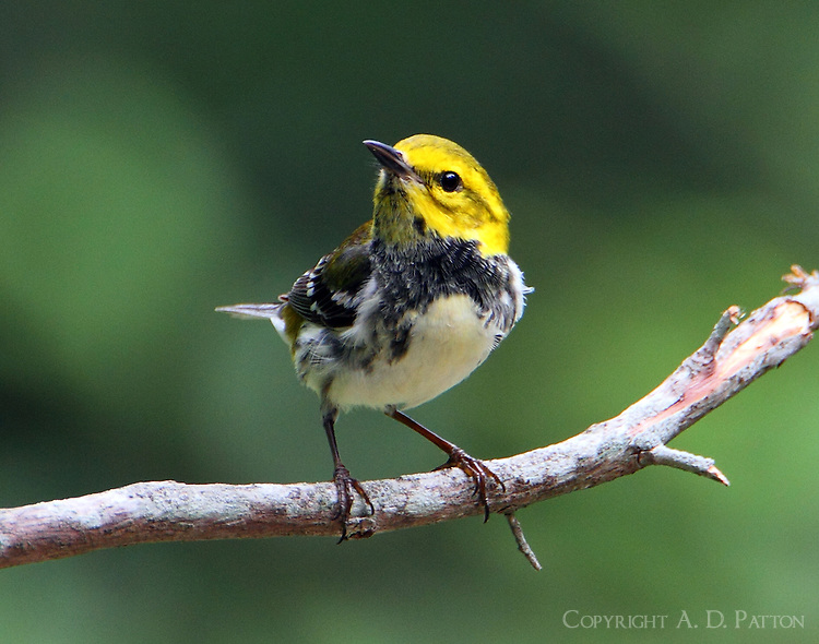 Adult female black-throated green warbler