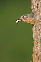 Eastern Bluebird, Sialia sialis, female leving nesting cavity with fecal sac, Willacy County, Rio Grande Valley, Texas, USA, June 2006