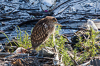A juvenile Black-crowned Night-heron stands on a rocky, litter strewn bank at the San Leandro Marina on San Francisco Bay.